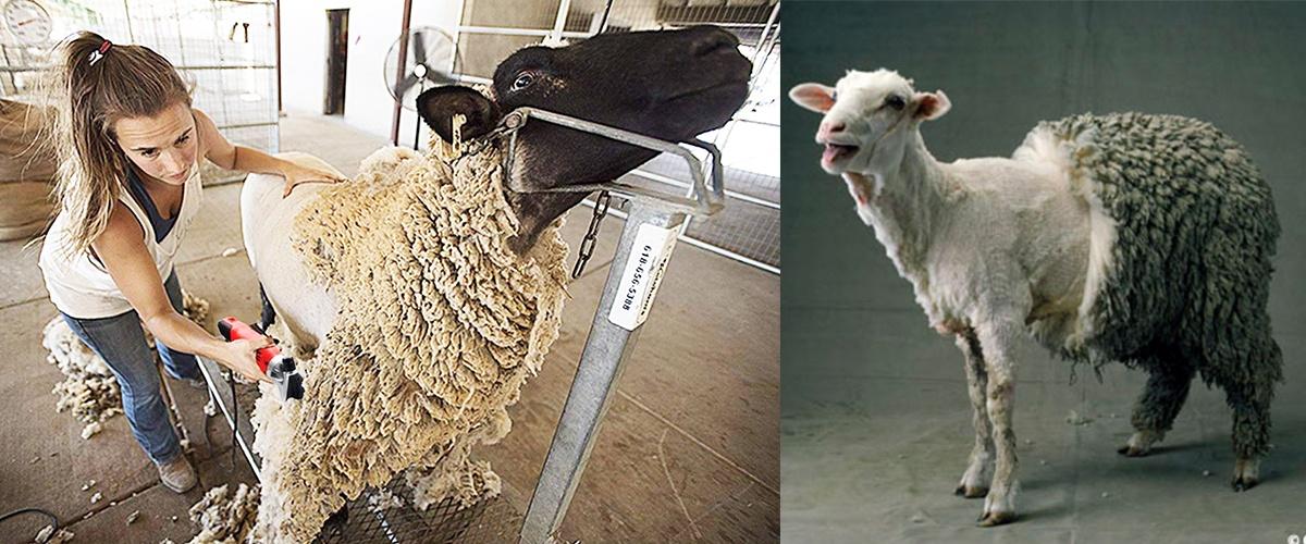 Pregătirea oilor pentru tuns